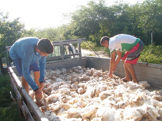 Empresário denuncia que milhares de frangos morreram em granja devido falta de energia (Foto: Cícero Lopes/ Arquivo Pessoal)