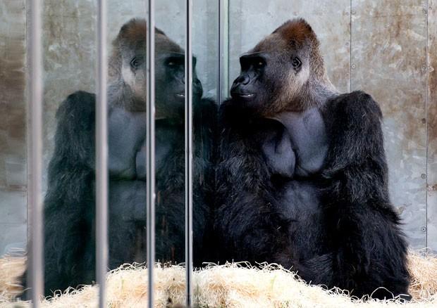 Um gorila foi fotografado enquanto admirava o próprio reflexo em um painel de vidro noo zoológico Hellabrunn em Munique, na Alemanha (Foto: Sven Hoppe/DPA/AP)