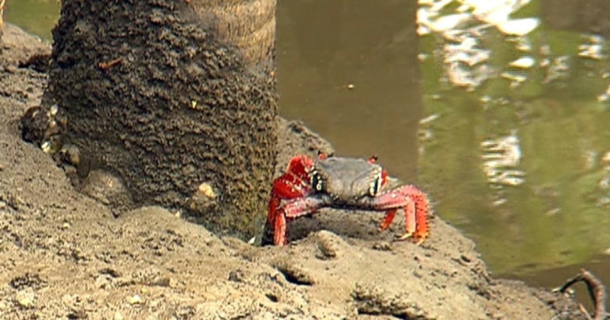 Criação de camarões é uma das maiores ameaças aos manguezais
