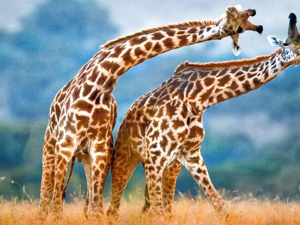 Duas girafas parecem fazer dança coreografada no Parque Masai Mara, no Quênia. Diferentemente do que se pode imaginar, os movimentos graciosos não são uma dança, mas uma luta por território (Foto: Andrey Gudkov/Caters News)