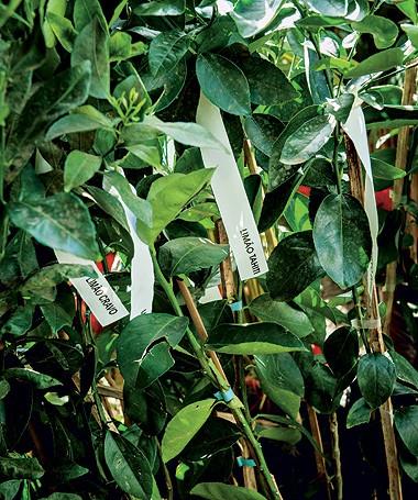 Na Raio de Sol, mudas de limão- cravo, R$ 80, e tahiti, por R$ 100 cada uma, com 1,5 m de altura (Foto: Ilana Bar/ Editora Globo)