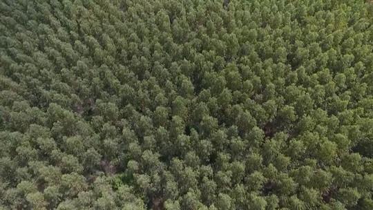 Florestas de eucalipto ameaçam vida do sertanejo no cerrado do MA