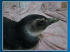 Pinguim é encontrado em praia de Itacaré (Imagens / TV Bahia)