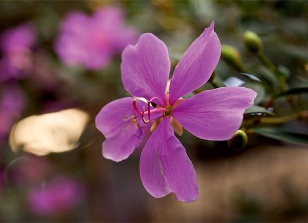 arvore manaca jardim:Manacá-da-serra. Árvore nativa brasileira, a espécie impressiona