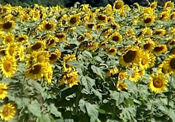 Plantação de girassol Triângulo Mineiro (Foto: Reprodução/ TV Integração)