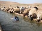 Menino faz snorkeling em canal enquanto ovelhas bebem água