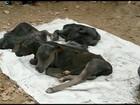 Em parto raro, vaca dá à luz cinco bezerros em fazenda do Tocantins