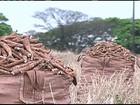 Seca no NE aumenta a procura pela mandioca produzida no Sul do país