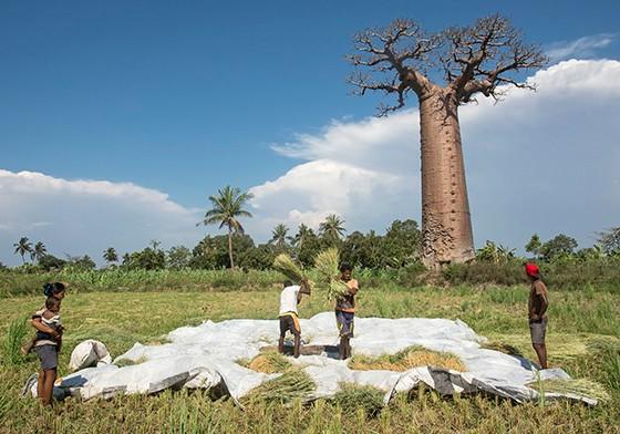 Campos de arroz cercam alguns baobás isolados na planície de Morondava (Foto: © Haroldo Castro/Época)
