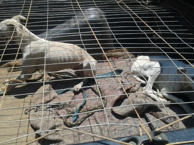 Cães de caça usados por grupo detido em área rural de Planaltina (Foto: Polícia Militar/Digulgação)