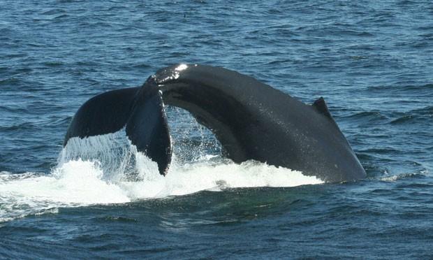 Exemplar de baleia-jubarte usa a cauda para aplicar técnica de caça de peixes (Foto: Jennifer Allen/Centro de Baleias de New England/Science)