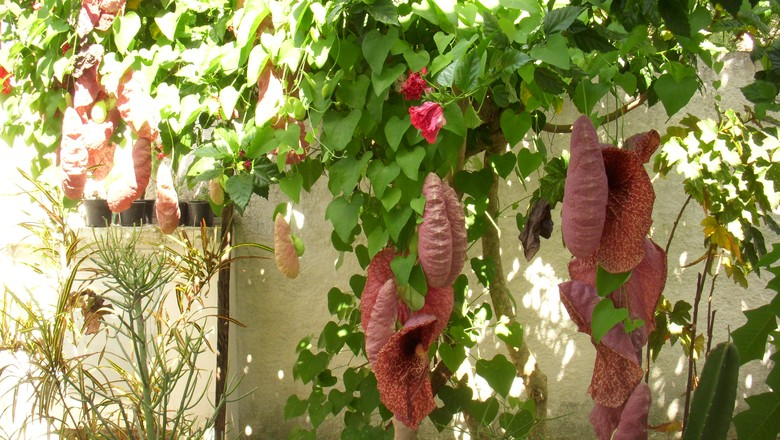 Aristolochia-gigantea (Foto: Creative Commons)