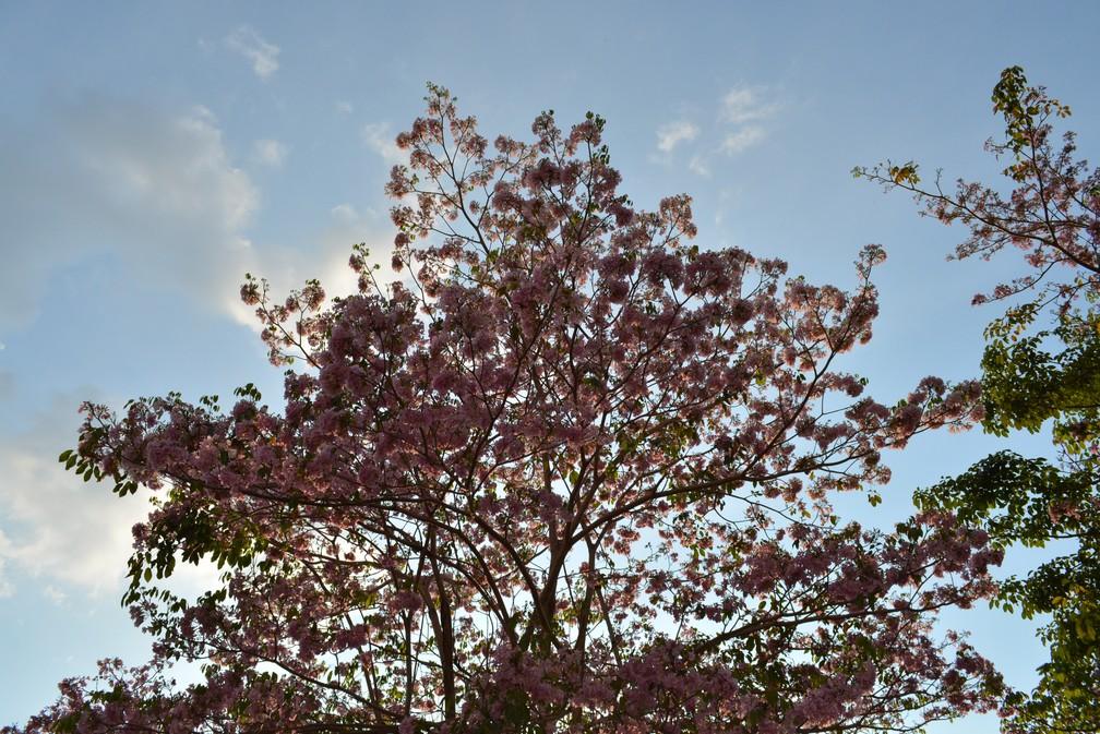 Ipê começa a florar antecipadamente em Porto Velho (Foto: Claudia Paula/Arquivo Pessoal)