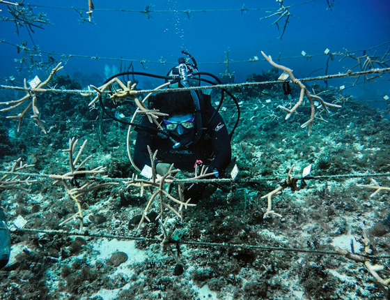 Corais são replantados na Jamaica para servir  como barreira (Foto:   Kadir van lohuizen / NOOR)