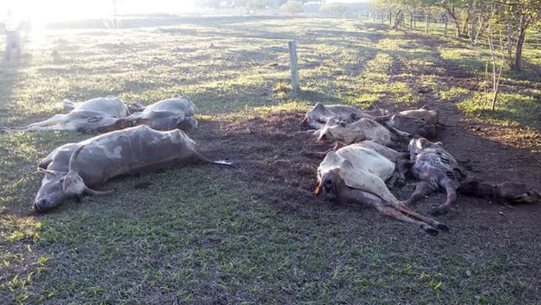 gado-morto-Altonia (Foto: Divulgação/Polícia Ambienta)