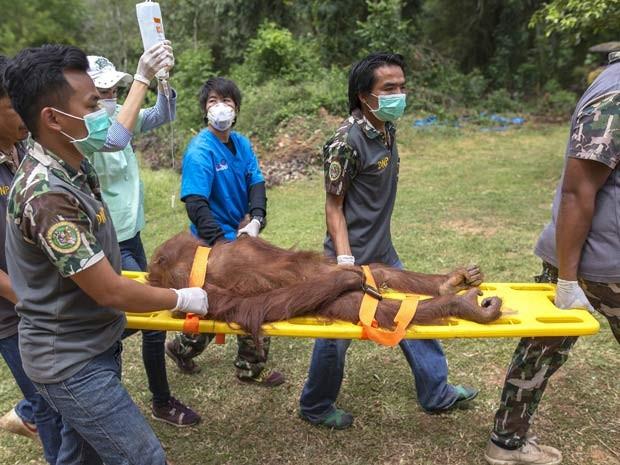 Orangotangos apreendidos na Tailândia passam por exames nesta quinta-feira (27) antes de repatriação à Indonésia (Foto: REUTERS/Athit Perawongmetha)