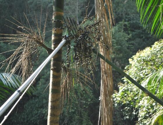Moradores de Cajati colhem cachos com frutos maduros de palmeira jussara (Foto: Divulgação)
