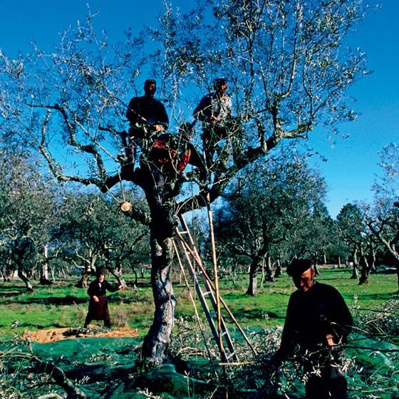 Oliveira no Porto,norte de Portugal.O azeite segue ótimo,mas a pauta comercial com o Brasil precisa se diversificar (Foto:  Getty Images/Lonely Planet Images)