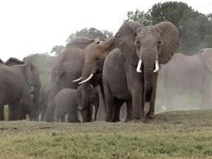 Grupo de elefantes no Chade, na África (Foto: Divulgação/IFAW)