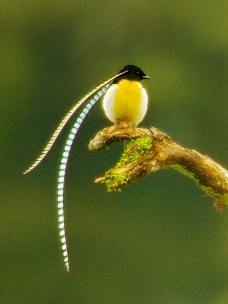 Exemplar da espécie ave-do-paraíso de Alberto (Pteridophora alberti) encontrado na Papua Nova Guiné (Foto: Tim Laman, National Geographic/AP)