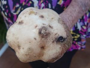 Mulher também achou batata que parece cabeça de alho (Foto: Renata Marconi / G1)