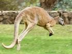 Cientistas descobrem primeiros animais canhotos: os cangurus