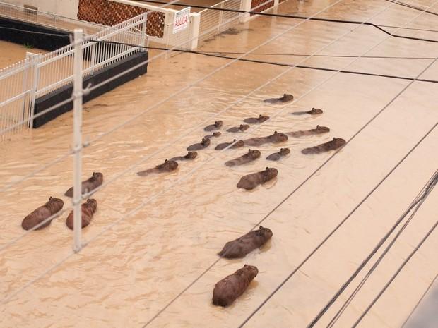 Capivaras costumam ficar nas margens do rio, mas foram flagradas no Centro (Foto: Orlando Pereira/Divulgação)