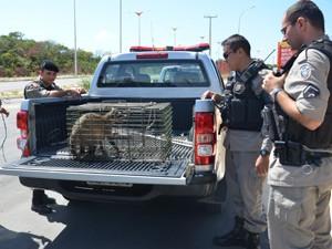 Após captura, animal foi encaminhado para o Centro de Triagem do Ibama (Foto: Walter Paparazzo/G1)
