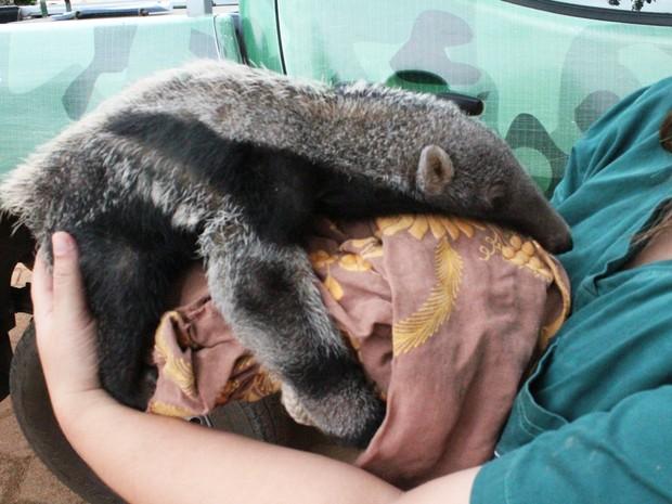 Filhote foi encontrado desidratado  (Foto: Naturatins/Divulgação)