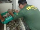 Ibama apreende 107 kg de lagosta ilegal na praia de Pirangi do Sul, RN