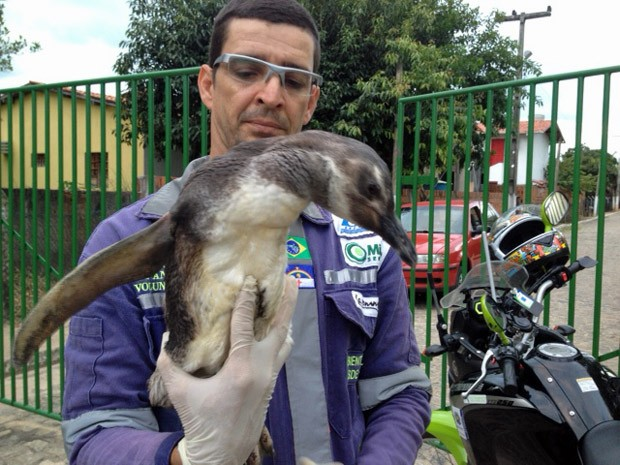 Adriano Artoni resgatou o pinguim em Piedade. (Foto: Ronan Tardin / Tv Globo)