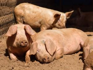 Porcos resgatados do Rodoanel vivem em santuário na cidade de São Roque, SP (Foto: Cintia Frattini/Arquivo Pessoal)