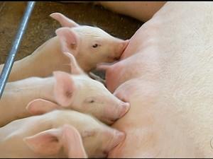 Adapec intensifica fiscalização para prevenir a peste suína clássica (Foto: Reprodução/TV Anhanguera)
