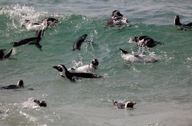 Bando de pinguins foi visto 'pegando onda' em praia sul-africana (Foto: Schalk van Zuydam/AFP)