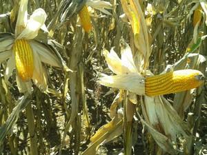 Etanol de cereais é alternativa para milho produzido em Mato Grosso