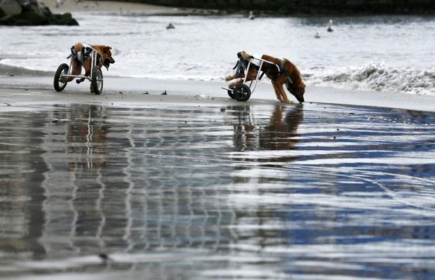 Cães paraplégicos andam de cadeira de rodas em praia de Chorrillos, na região de Lima, no Peru, em foto de 7 de setembro (Foto: Mariana Bazo/Reuters)