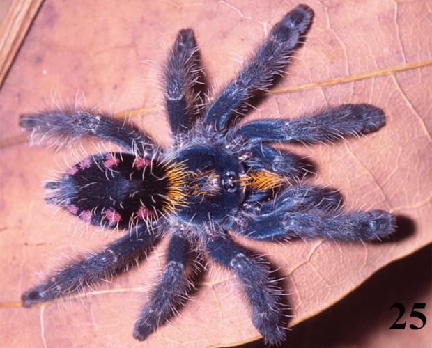 'Typhochlaena costae', tarântula encontrada em Palmas, no Tocantins, segundo o estudo (Foto: Reprodução/'ZooKeys')