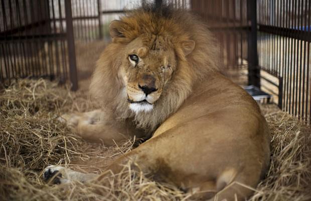 Imagem de 7 de novembro mostra leão que era usado no circo, sem um dos olhos, em um abrigo temporário de Lima, no Peru (Foto: Rodrigo Abd/AP)