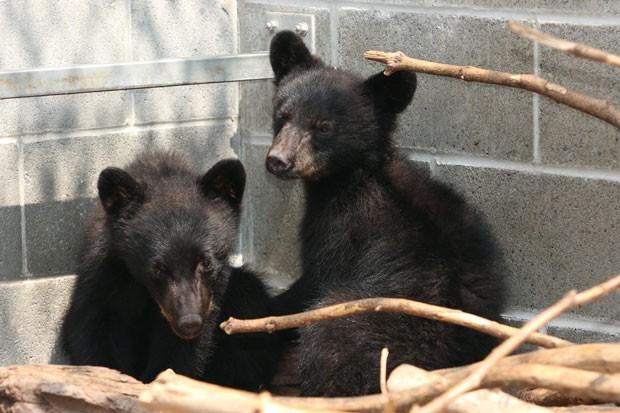 Agente de conservação ambiental foi suspenso depois de desobedecer ordem para sacrificar filhotes de urso (Foto: Chad Hipolito/The Canadian Press via AP)