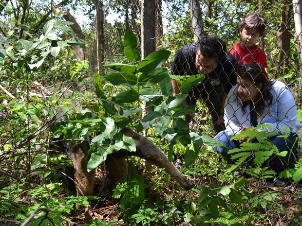 Tamanduá foi levado para o Centro de Triagem de Animais Silvestres (Cetas) (Foto: Divulgação/GMP)