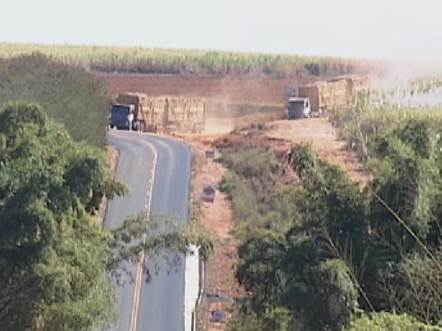 Bitrens saem das plantações e entram na rodovia: perigo constante (Foto: Reprodução/ TV TEM)