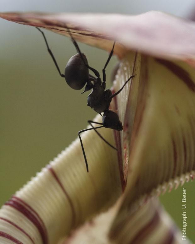 Formiga operária coleta néctar da planta carnívora Nepenthes (Foto:  Reuters/Dr. Ulrike Bauer/Universidade de Bristol)