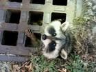 Guaxinim é resgatado após entalar a cabeça em bueiro nos EUA