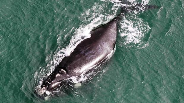 Olivia estava entre as 22 baleias avistadas em Imbituba (Foto: Projeto Baleia-Franca/Divulgação)