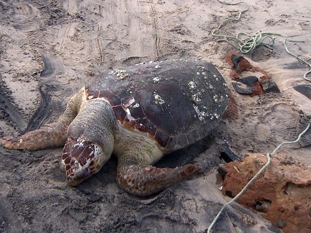 Tartaruga (Fot Imagem/TV Bahia)