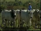 Pecuaristas de MG temem que a seca atrapalhe a reprodução do gado