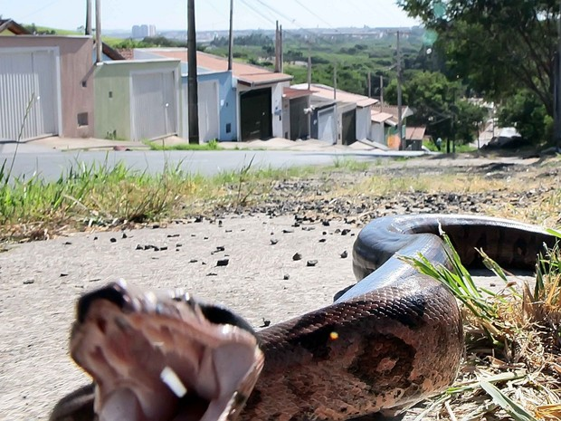 Momento em que serpente tentou atacar lente de fotógrafo em Piracicaba (Foto: Mateus Medeiros/Arquivo pessoal)