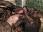 Bebê gorila chega aos braços da mãe após cirurgia no pulmão, nos EUA