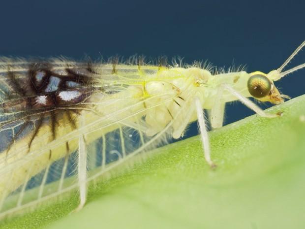 Novo inseto natural da Malásia foi encontrado por cientista 'de bobeira' na internet (Foto: Reprodução/ZooKeys)