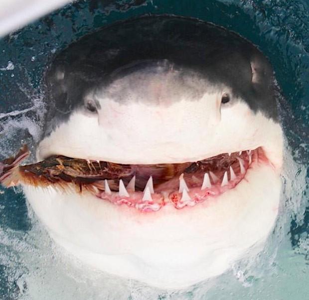 Grande tubarão branco parece sorrir ao ser fotografado na costa australiana (Foto: Reprodução/Twitter/Calypso Star Charter )